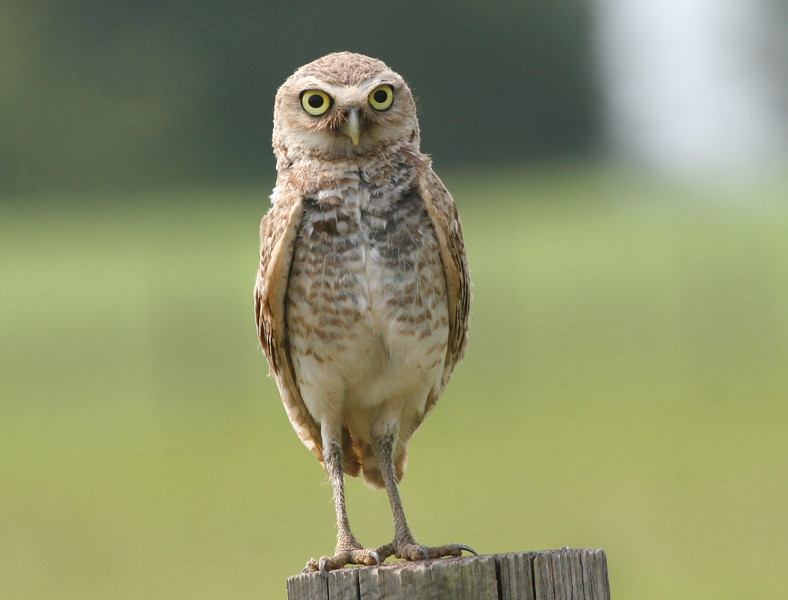 Burrowing owl watches for prey from a fence post