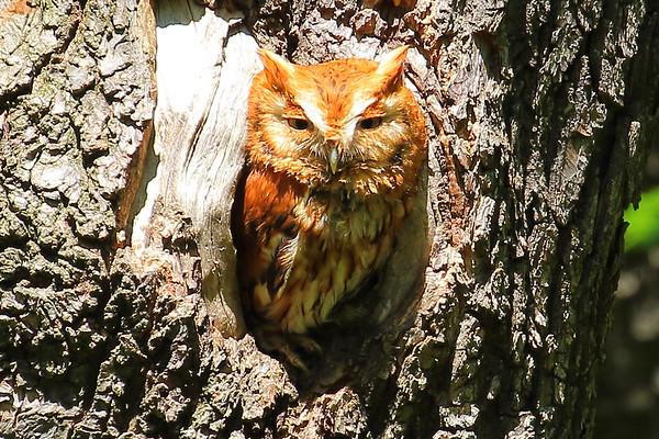 Eastern Screech Owl - Piedmont Park, Atlanta, GA