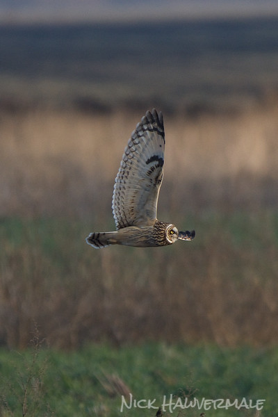 Short-eared Owl Wing
