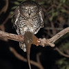 Powerful Owl with Ring-tailed Possum