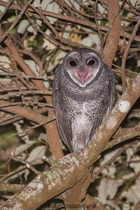 Lesser Sooty Owl (Juvenile)