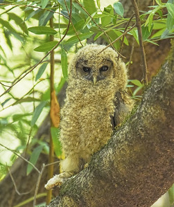 Northern Spotted Owl ~ Young
