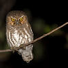 Elf Owl, Ash Canyon Bed & Breakfast, Hereford, Arizona