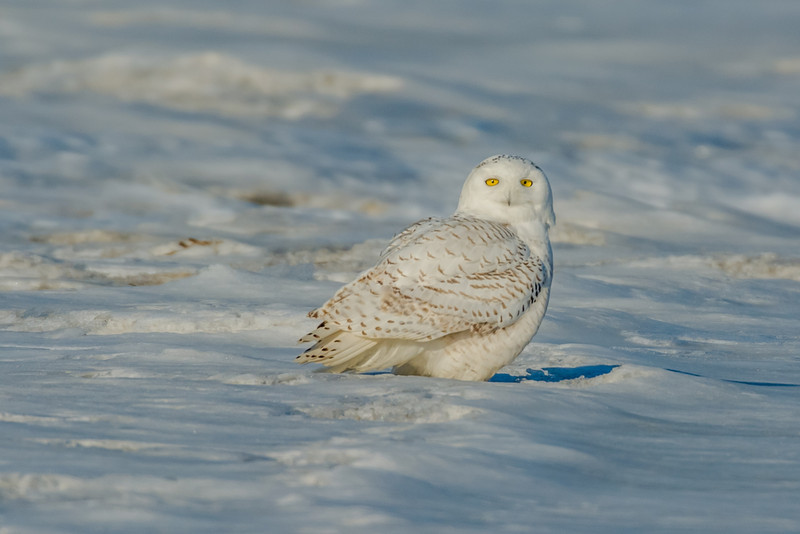 snowy Owl on the marsh