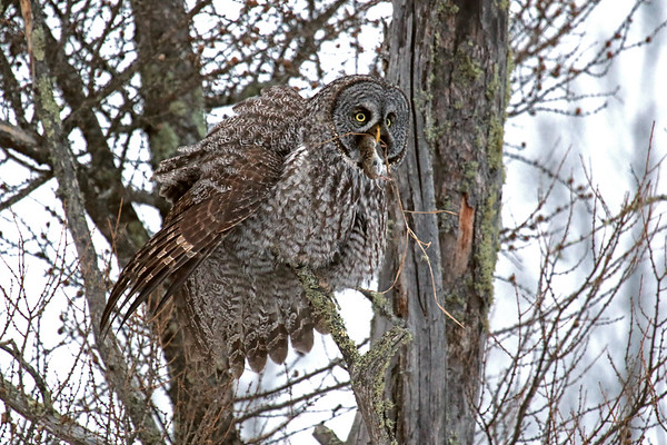 Great Grey Owl With Breakfast #4 (Strix nebulosa)