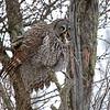 Great Grey Owl With Breakfast #4 (Strix nebulosa)