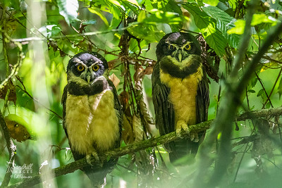 Spectacled owls, Costa Rica