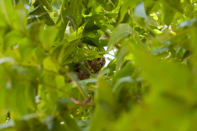 Screech Owl hiding in pecan tree