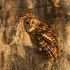 Barred Owl in Cypress Tree Covered in Moss