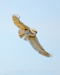 Burrowing Owl, Imperial co, CA, 4-25-14. Cropped image.
