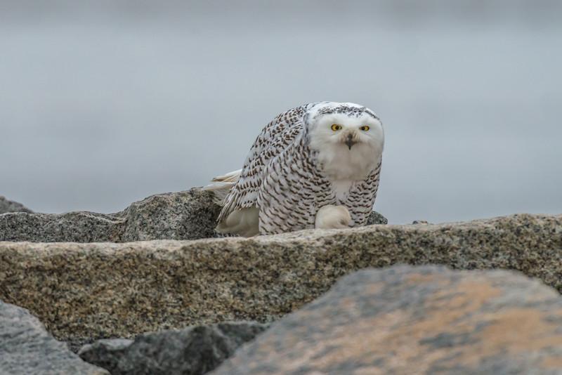 snowy Owl, Salisbury
