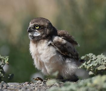 Burrowing Owl ~ Young