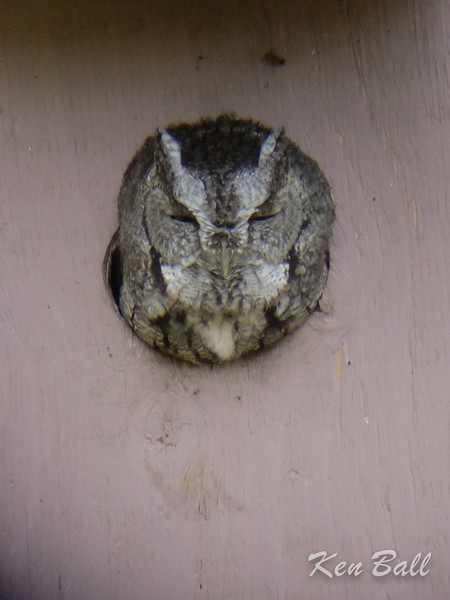 Aylmer, eastern screech-owl: Megascops asio Comfortable in a nesting box