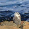 Snowy Owl on the coast 2