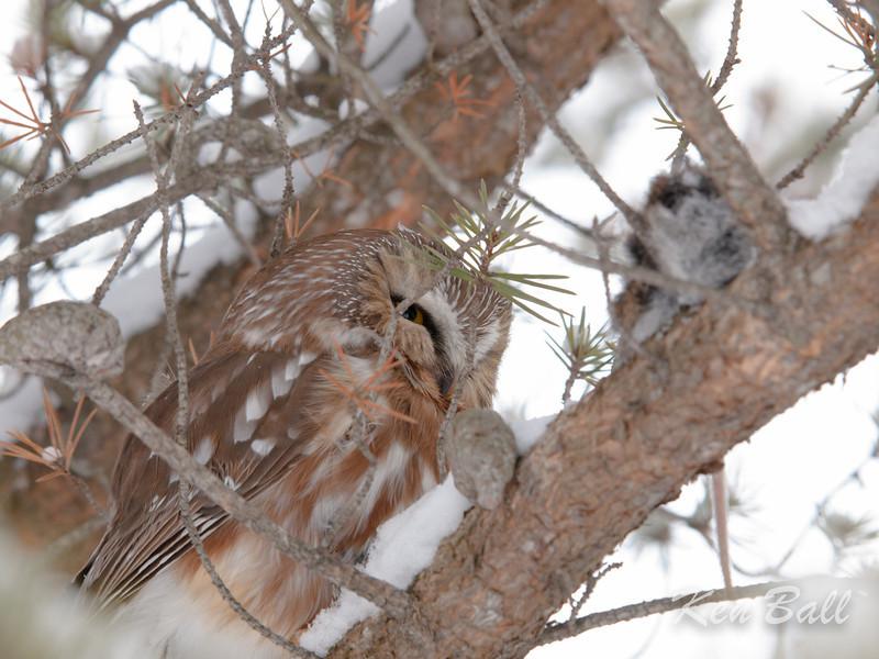 Amherst Island, northern saw-whet owl: Aegolius acadicus