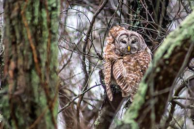 12-10-2014 Barred Owl & Coast 14 SM