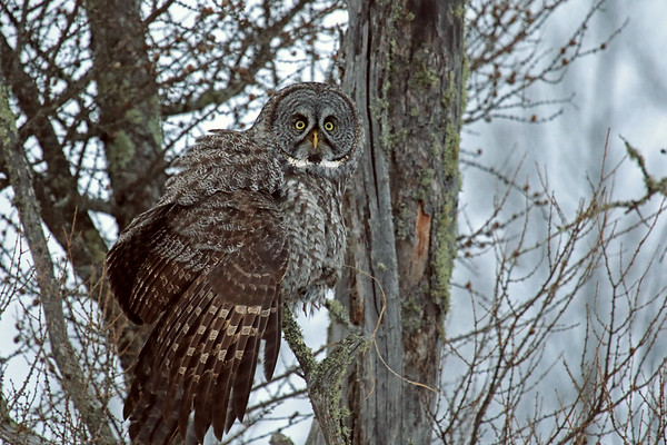 Great Grey Owl With Breakfast In Talons (Strix nebulosa)