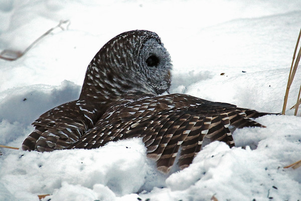 Barred Owl Hunting (Strix varia)