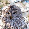 Amherst Island, barred owl: Strix varia