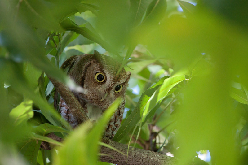 Screech Owl looks out through the leaves