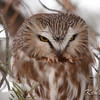 "Saw-Whet Owl Amherst Island, Ontario Once in a while the owl opens his eyes.<br /> In this case, its to give me a stern look, a la  the Yosemite Sam character on the Bugs Bunny cartoons:<br /> "" Back off or you better say your prayers, you flea-bitten varmit!"""