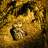 Western Screech-Owls : I recommend that you click on the slide show button at the top right side of this page to sit back and enjoy the fine art show. When the slide show begins, I suggest that you click on Hide Captions to view the images unencumbered by text. You can click on the 'Slow,' 'Medium,' or 'Fast' button for your speed preference.  At the conclusion of the slide show click on an image then click on 'show details' at the top of the page to open an option to comment on the image.  There are multiple pages to view so please click on the next page. Visit my Guestbook and leave your comments about my photography. All of the photos in this gallery are available for purchase.