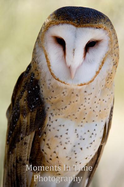 owl barn (Tyto alba)