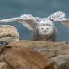 Snowy Owl. Rye