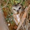 Northern Saw-whet Owl III