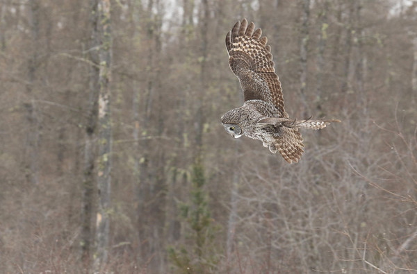 Great Grey Owl Hovering (Strix nebulosa)