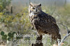 owl great horned (Bubo virginianus)