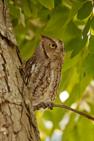 Screech Owl in pecan tree