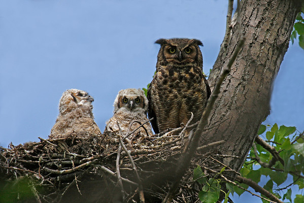 Great Horned Owl Family (Bubo virginianus)