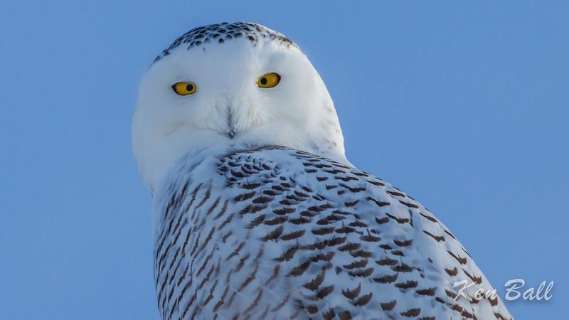 snowy owl: Bubo scandiacus, Wall Road