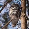 boreal owl: Aegolius funereus, Constance Bay