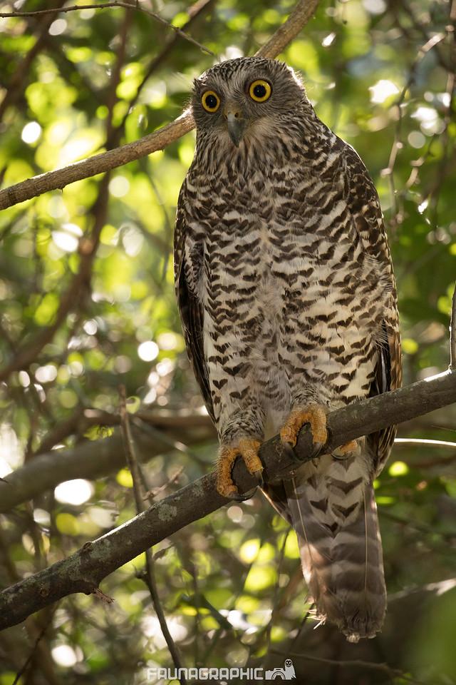 Powerful Owls