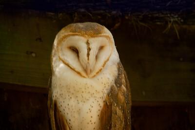 Barn Owl_SS141794