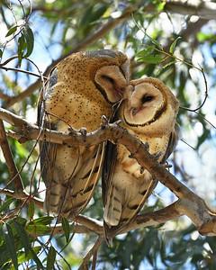 Barn Owls ~ Fledglings