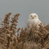 Snowy Owl, Hampton