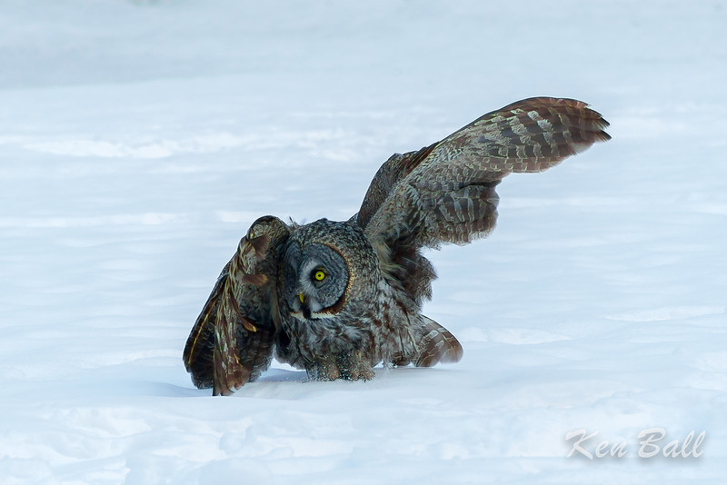 great gray owl: Strix nebulosa, Green's Creek <br /> Exit, stage right