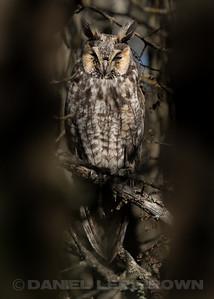 LONG-EARED OWL, Veteran's Memorial Park, Roseville, CA