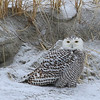 Snowy Owl at the Beach 2