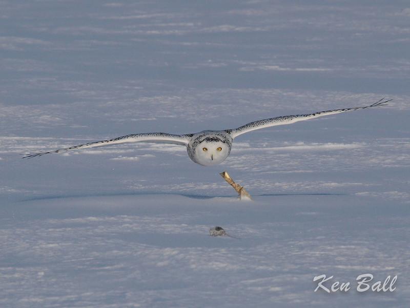 Casselman, snowy owl: Bubo scandiacus