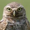 Burrowing owl face