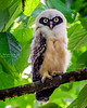 Spectacled Owlet
