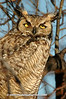 Great Horned Owl; Oregon
