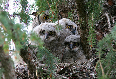 Great horned family.