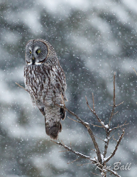 great gray owl: Strix nebulosa, Green's Creek<br /> 'Northern Contemplation'