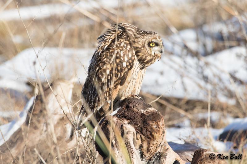 short-eared owl: Asio flammeus, Tsawwassen,British Columbia