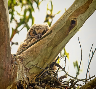 Great Horned Owl ~ Fledgling